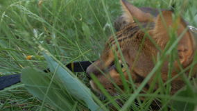 The one cat bengal walks on the green grass. stock footage