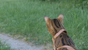 The one cat bengal walks on the green grass. stock video