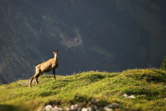One chamois. On hill at evening in the alps Royalty Free Stock Images