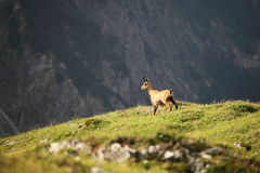One chamois. On a field in the austrian alps Royalty Free Stock Photos