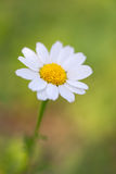 One chamomile Royalty Free Stock Photo