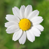 One chamomile. On blured green background close up Stock Photos