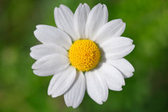 One chamomile Stock Images