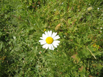 One chamomile flower on background of green grass. Single chamomile in grass top view Royalty Free Stock Image