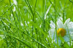 One chamomile in the grass Royalty Free Stock Photo