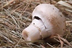One champignon closeup on dry grass. Stock Image