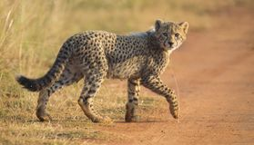 One Cheetah cub playing early morning in a road Stock Photo