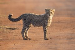 One Cheetah cub playing early morning in a road Stock Photos