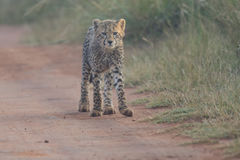 One Cheetah cub playing early morning in a road Royalty Free Stock Image