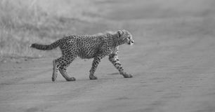 One Cheetah cub playing early morning in a road Stock Photography