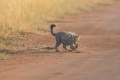 One Cheetah cub playing early morning in a road Royalty Free Stock Photos