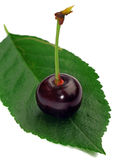 One cherry on a leaf isolated Royalty Free Stock Image