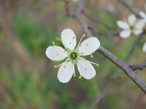 One cherry plum blossoms. gardering at springtime. Close up view of one blooming flower of fruit tree branch at spring Stock Photos