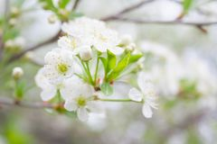 One cherry white blossom royalty free stock images