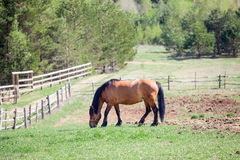 One chestnut horse grazing in paddock Stock Photos