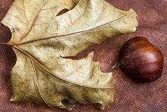 One Chestnuts on  Brown Cloth Background with Leaves and raw Sh. Some Chestnuts on  Brown Cloth Background with Leaves and raw Shell of Thorns Royalty Free Stock Photography