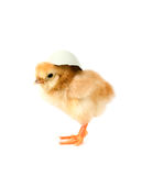 One Chick Royalty Free Stock Photos