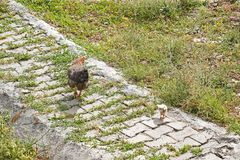 One chicken and a chick on the sidewalk royalty free stock images
