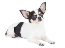 One Chihuahua on white Royalty Free Stock Images