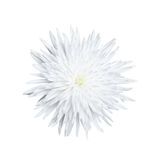 One Chrysanthemum flower isolated on white background Stock Image