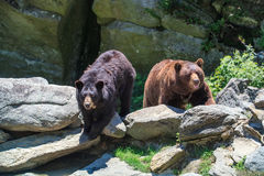One Cinnamon Bear and One Black Bear Stock Photo