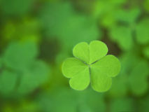 One clover Royalty Free Stock Images