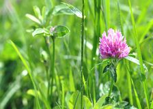 One clover in the grass Royalty Free Stock Photography