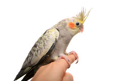 One cockatiel parakeet baby Royalty Free Stock Photos