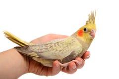 One cockatiel parakeet baby Stock Images