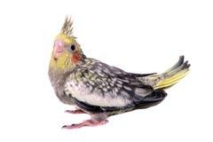 One cockatiel parakeet baby Stock Photos