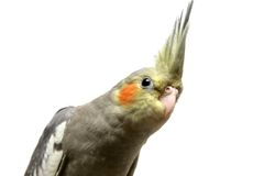 One cockatiel parakeet baby Royalty Free Stock Photography