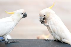 Cockatoo with stolen sugar pack trying to open it. Closeup of two cackatoos in Australia stock images
