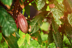 One cocoa pod on tree. Tropical plantation sunny light day stock photos