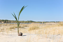 One coconut palm sprout growing on the portuguese Stock Image