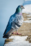 One colored pigeon Royalty Free Stock Images