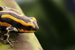 One colorful frog on a green leaf. Shades of black and green in the background. stock photography