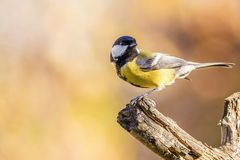 One colorful great-tit songbird perched on dry twig. Horizontal photo of single male great tit bird. The songbird has yellow, black and white feathers. Avian Stock Photos