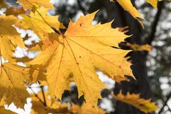One colorful maple leaf Royalty Free Stock Photo