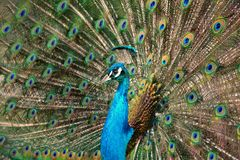 Peacock tap with spread feather crown    Pavo cristatus. One colorful peacock tap with spread feather crown    Pavo cristatus royalty free stock photos