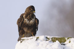 One common buzzard Buteo buteo bird standing on snow in winter Stock Images