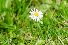 Daisy Bellis Perenni Grass Ground Level One Royalty Free Stock Photo