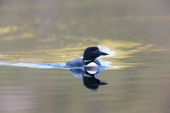 Still Water Loon Sunset royalty free stock photography