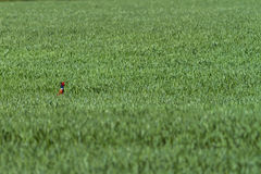 One Common pheasant Phasianus colchicus in the green field Stock Image