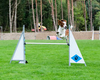 One competition in agility for dog Royalty Free Stock Photos