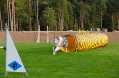 One competition in agility for dog Royalty Free Stock Photography