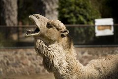 One Cool Camel Stock Image