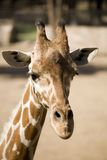 One Cool Giraffe Royalty Free Stock Images