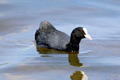 One coot isolated in background of lake Stock Photography