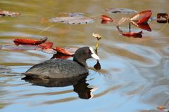 One coot Royalty Free Stock Photography