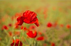 One corn poppy flowers in early summer Stock Image